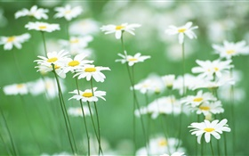 White daisies, flowers, green background HD wallpaper