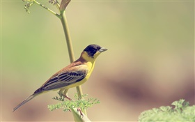 Yellow bird, branch, blur HD wallpaper