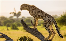 Africa, cheetah side view, tree HD wallpaper