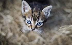 Blue eyes kitten, face, bokeh