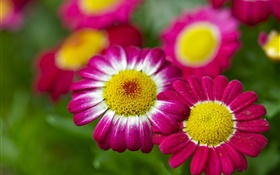 Chamomile, pink flowers, bokeh HD wallpaper