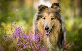 Cute collie, dog, flowers HD wallpaper