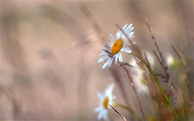 Daisies flowers, grass, blurry HD wallpaper
