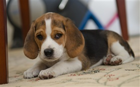 Dog, beagle, cute pet
