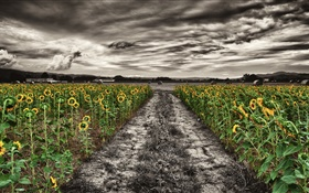 Dusk, sunflowers, field, clouds, path HD wallpaper