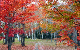 Forest, trees, red leaves, autumn, path HD wallpaper