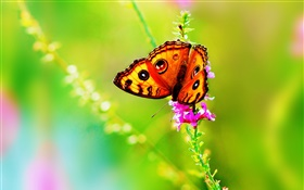 Insect close-up, butterfly, flower, summer HD wallpaper