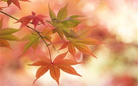 Maple leaves, autumn, twigs, glare