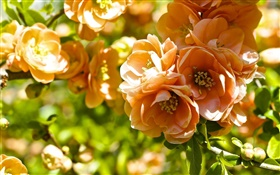 Orange flowers, quince blossom HD wallpaper