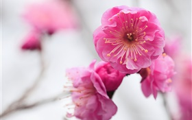 Pink apricot flowers, branch, blurred HD wallpaper