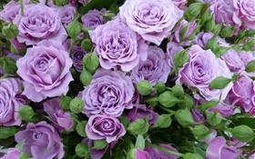Purple roses, flowers, buds HD wallpaper