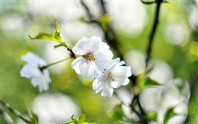 Spring, white flowers, cherry, blur background HD wallpaper