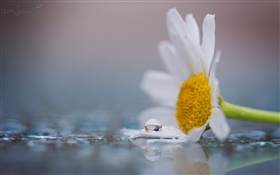 A white chamomile flower, dew, water drops HD wallpaper
