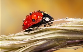 After rain, insect, ladybug, water, dew HD wallpaper