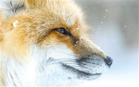 Animal fox close-up, face, winter HD wallpaper