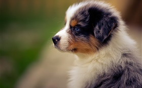 Australian shepherd, puppy, dog