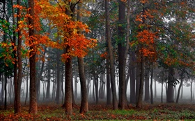 Autumn, forest, trees, fog, morning HD wallpaper