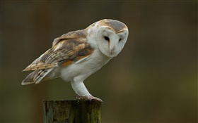 Barn owl, stump, blur background HD wallpaper