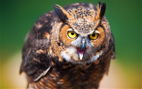 Bird owl close-up, face, yellow eyes HD wallpaper