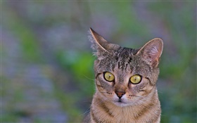 Cat close-up, yellow eyes, green background