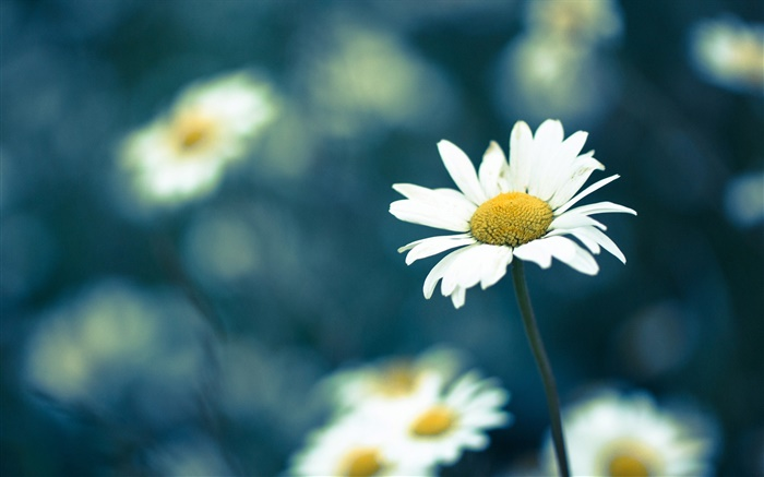 Chamomile flower, blur background Wallpapers Pictures Photos Images