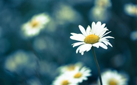 Chamomile flower, blur background HD wallpaper