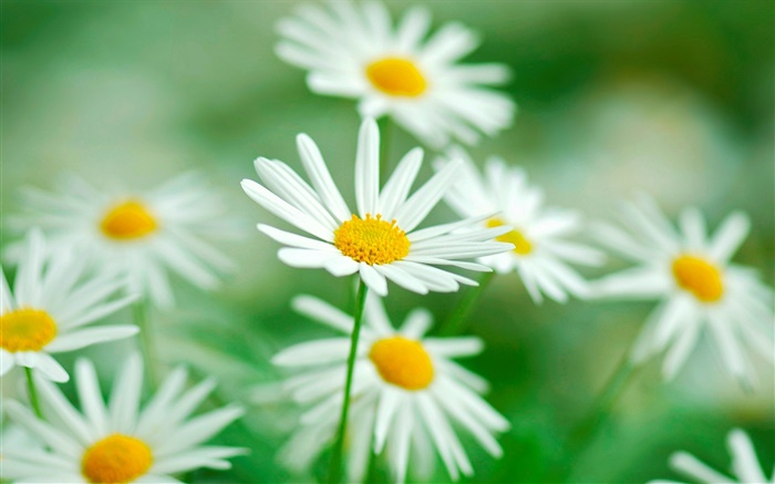Chamomile flowers, white petals, blur background Wallpapers Pictures Photos Images