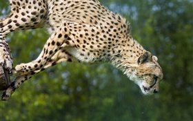 Cheetah jump, big cat