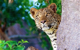 Curiosity leopard, face, eyes, stone HD wallpaper