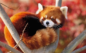 Cute animal in tree, red panda HD wallpaper
