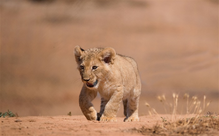 Cute little lion cub, walk, ground Wallpapers Pictures Photos Images