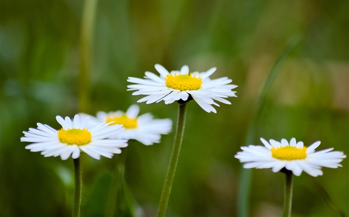 Daisies, white flowers, blur background Wallpapers Pictures Photos Images
