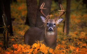 Deer in the autumn, yellow leaves HD wallpaper