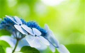 Four petals, blue flowers, bokeh HD wallpaper