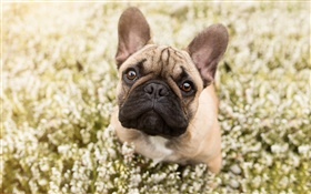 French bulldog, face, bokeh HD wallpaper