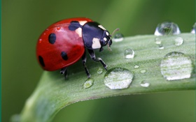 Grass, dew, ladybug, macro photography HD wallpaper