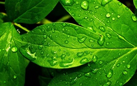 Green leaf close-up, drops, dew HD wallpaper