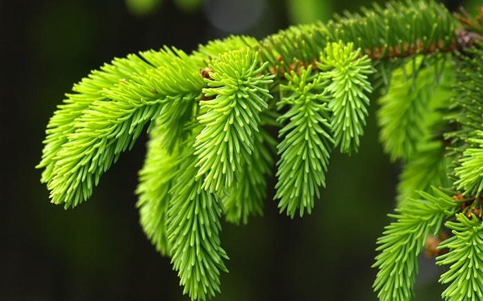 Green pine leaves, twigs, spruce Wallpapers Pictures Photos Images
