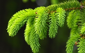 Green pine leaves, twigs, spruce HD wallpaper