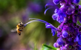 Insect, bee, blue flower HD wallpaper