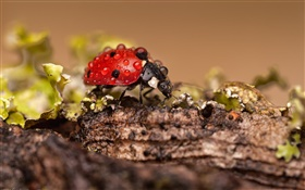 Insect, ladybug, dew HD wallpaper