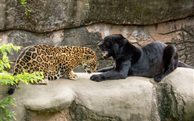 Jaguar, black, wild cats, predators HD wallpaper