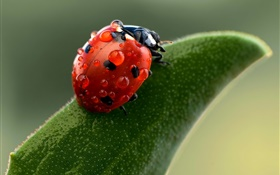 Ladybug macro photography, water drops, green leaf HD wallpaper
