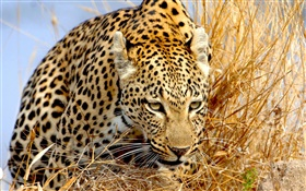 Leopard hidden in grass, eyes HD wallpaper