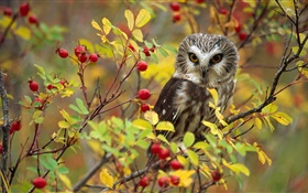 Lonely owl, twigs, red berries, British Columbia, Canada HD wallpaper