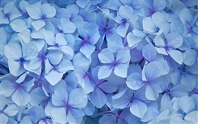 Many hydrangea flowers, blue petals, dew HD wallpaper