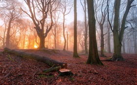 Morning, forest, trees, fog, sunrise HD wallpaper
