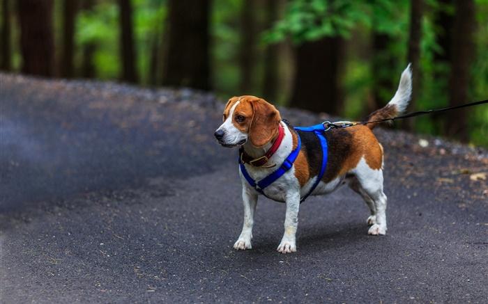 Pet dog beagle hd wallpapers animals desktop wallpaper preview pet dog beagle wallpapers pictures photos images voltagebd Images