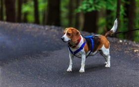 Pet, dog, beagle HD wallpaper
