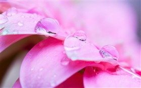 Pink flower macro photography, petals, dew HD wallpaper